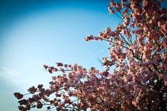 Sky&Blossoms (koDesign) Tags: sky tree cherry spring nikon blossom blossoms himmel baum frhling blten d300 kirschbaum nikkor1685f3556ged