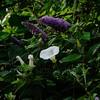 SUMMER LIFE (Simon R Brook) Tags: buddleia 2870mmf3545d middlesex hillingdon pinn hedgebindweed yiewsley d7000 simonrbrook