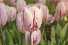 _MG_4494 (Gkmen Kmrt) Tags: flower tulip 2015 emirgan laleler