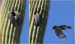 Gila Woodpeckers Feeding Young (gbglide) Tags: arizona nature birds tucson wildlife sonorandesert gilawoodpecker bornholtz eborn