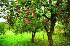 Apple trees with red apples (cyanotherm) Tags: life autumn red food plant color tree green apple nature beautiful fruit rural garden season landscape leaf juicy healthy day branch natural image gardening eating farm background branches farming seasonal harvest grow scene vegetable orchard fresh gourmet growth crop organic agriculture biology freshness appletree ripe refreshment