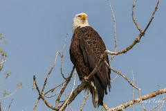 A very regal Bald Eagle