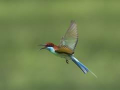 Blue-throated Bee-eater _ Punggol (mahi mahi 163) Tags: singapore beeeater 600mm
