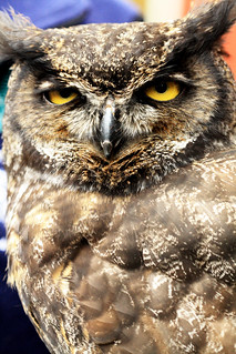 Great Horned Owl (Bubo virginianus) [3]