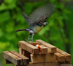 tit bench feeder (1) (Simon Dell Photography) Tags: uk wild england wet water birds garden pond bath time feeder falls bathing starlings 2015 fledge fledgelings