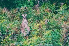 staredown with a roo (lucidddreamin') Tags: autumn green bush colours dusk wildlife australia victoria kangaroo kangaroos roo greateastern bushrangersbay