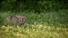 Duck and Cover II (JTPhotography) Tags: cute rabbit bunny nature sweet wildlife kaninchen youngbunny panasonic45200mm panasoniclumixg6