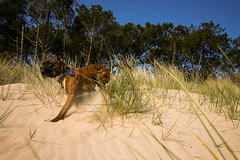 Slamming on the brakes (A Costigan) Tags: trees dog beach animal canon eos sand dunes bluesky boxer wexford curracloe
