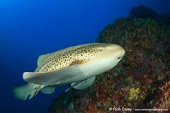 "similandivingsafaris.com:leopard shark.jpg"" alt="" Leopard Shark"" :> (similandivingsafaris) Tags: ocean fish macro water coral thailand aqua scuba diving scubadiving corals khaolak andamansea underwaterphotography liveaboard similanislands kohbon kohtachai dolphinqueen worldfamousrichelieurock similanexplorer"
