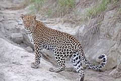 Female Leopard - Queen Elizabeth National Park, Uganda. (estenard) Tags: leopard uganda queenelizabeth queenelizabethnationalpark pantheraparduspardus