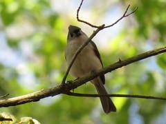 Tufted Titmouse by SpeedyJR (SpeedyJR) Tags: cowlesbogduneacresin 2016janicerodriguez tuftedtitmouse titmouse birds wildlife nature cowlesbog duneacresindiana indiana speedyjr