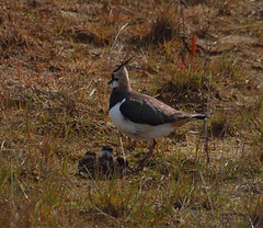 2016_04_0397 (petermit2) Tags: yorkshire chick lapwing doncaster southyorkshire rspb dearnevalley adwick adwickupondearne adwickwashlands