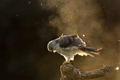 Black Winged Kite (Daniel Trim) Tags: sunset kite black bird nature birds animals spain europe european wildlife hide backlit prey dust winged iberia caeruleus hides skaing calera blackwinged elanus