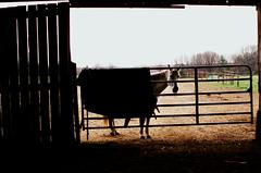 horse.  blanket. (losthalo) Tags: horse silhouette barn gate fuji blanket pentaxk1000 equine horseblanket smcpm50mmf14 pentaxm50mm14 pentaxart itsnotacapture