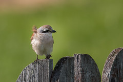 Neuntter (bohnengarten) Tags: park bird eos nationalpark poland polen bialowieza vogel shrike redbacked lanius collurio narodowy 70d bialowieski neuntter