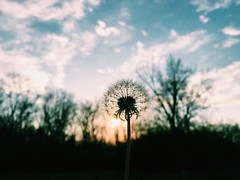 sunset (life stories photography) Tags: trees sunset ohio sky square spring woods may dandelion squareformat wishes iphone 2016 iphoneography instagramapp uploaded:by=instagram