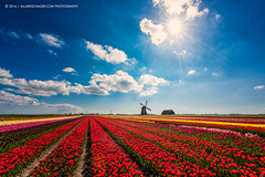 Class of 2016 (Allard Schager) Tags: flowers holland netherlands windmill dutch landscape spring tulips may nederland vivid fresh lente bloemen tulpen voorjaar 2016 schermerhorn colorpop nikond810 nikkor1424mmf28 allardschager