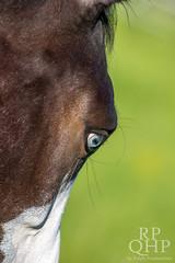 999A3832 (RPQHP) Tags: horses horse spring weide natur western quarter pferde pferd quarterhorse