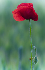 Solitary or not? (Cozmin.Preda) Tags: red flower art nature blossom bokeh ngc poppy tamron teamsony