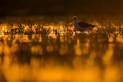 Black-Winged Stilt at Sunset (Daniel Trim) Tags: sunset lake black bird nature birds animals photography spain low hide level backlit winged stilt iberia hides calera wader blackwinged himantopus rimlit