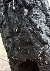 Stonefly molt (D. Inscho) Tags: bug molt ponderosa stonefly easternor charredforest wenahariver