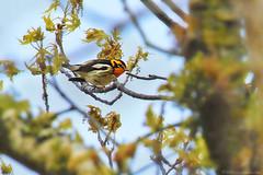 Blackburnian Warbler (Mike Schanbacher) Tags: usa bird birds ma capecod birding falmouth warbler warblers blackburnianwarbler