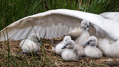 Class of 2016 (Maria-H) Tags: uk england cheshire nest unitedkingdom panasonic gb cygnets dunhammassey muteswan cygnusolor 100400 gh4 dmcgh4