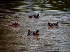 hyppos in the pool (cosmonaut576) Tags: animal southafrica wildlife olympus safari pro 28 krugernationalpark gamedrive hyppo 40150 8pro omdem5 olympusmzuikodigitaled40‑150mm12