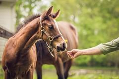 dandelion (Jen MacNeill) Tags: horse baby animal spring mare hand dandelion colt thoroughbred equine foal littledoglaughedstories