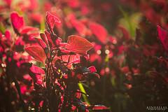 Golden hour over the nature (Kindallas) Tags: flower leaves red autumn são paulo brazil brasil botanic garden jardim botânico 250mm canon t5 sun outdoor nature plant