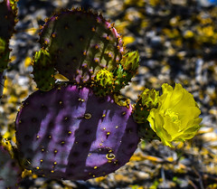 Santa Rita In The Shadows (Jo-Cooler Than Usual Summer...Yay!!!!!) Tags: cactus orange plants green yellow purple desert sharp pricklypear pads nopal santarita picky niftyfifty inthefrontyard theweeklycolourchallenge colourfulblossomsflowers