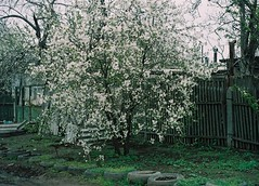 (olya lernor) Tags: spring odessa ukraine april cherryblossom