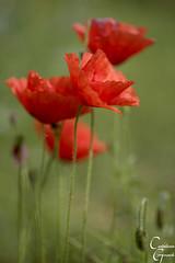 Roselles-Amapolas (Catarina Ginard) Tags: amapolas roselles