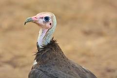 The eye of the beholder... (Pim Stouten) Tags: bird safari vulture oiseau zambia vogel gamedrive geier southluangwa ptk gier kapgier vol necrosyrtesmonachus monnikaasvol kappengeier aasvol