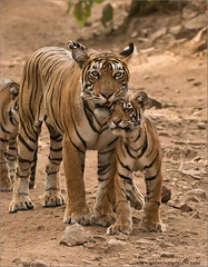 Tigress T60 and her Cub (Raymond J Barlow) Tags: travel india animal cub outdoor wildlife tiger adventure tigress phototours raymondbarlow
