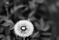 Gravity (Tove Paqualin) Tags: blackandwhite bw flower fleur monochrome field photography dof seed science sharp dandelion gravity theme depth flickrfriday