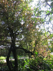 trees on Greenbank Drive, Edinburgh, May 2016 (alljengi) Tags: edinburgh morningside greenbank 2016 greenbankdrive ashypath