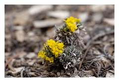 _P3M0751 (Brendan Swihart) Tags: endangeredspecies threatenedspecies rareplants physariacongesta lesquerellacongesta dudleybluffsbladderpod
