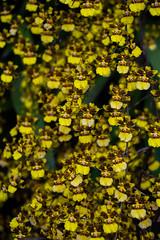 Orchids (Igor Sorokin) Tags: yellow flowers orchids dslr nikon d5300 nikkor 18300 telephoto zoom travel island kauai hawaii us usa bokeh pattern