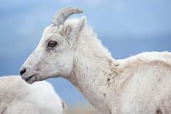 Big Horn Sheep (mhawkins) Tags: mtevans