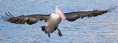 Wingspan (christinaportphotography) Tags: wild bird birds flying wings focus dof free australia pelican landing nsw centralcoast wingspan courting australianpelican pelecanusconspicillatus