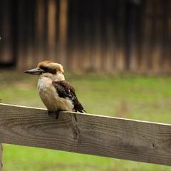 Dacelo novaeguineae (Diana Padrn) Tags: bird birds ave aves naturaleza outdoors nature mangalore flora reserve victoria australia dacelo novaeguineae laughing kookaburra