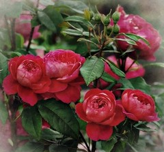 Roses anglaises Benjamin Britten (mamietherese1) Tags: ngc abigfave phvalue