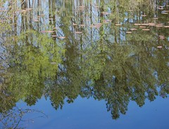 Mirror reflection on water. (Gerald Barnett) Tags: pink blue trees usa reflection tree green nature water pool beautiful beauty forest reflections outdoors mirror illinois pond woods nikon waterlily tranquility naturallight bluesky calm nationalforest reflected evergreen lilies waterlilies bosque serenity evergreens greenery serene mirrorimage lilypads inspirational ponds contemplative wald tranquil aquaticplants waterplants bosco waterscape waterreflections evergreentrees serenitynow mirrorpond mirrorpool mirrorreflection usnationalforest reflectionsinwater reflectionsonwater lesbois naturalcolor greenfoliage mirrorreflections pondscape