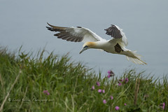 Gannet (pixellesley) Tags: ocean sea bird grass animal flying inflight wings adult cliffs landing gannet morusbassanus sulidae breedingplumage bempton nestingmaterial