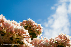 Photosynthesis (Paul Henman) Tags: flowers toronto ontario canada photowalk torontoislands 2016 torontointernationaldragonboatracefestival topw paulhenman torontophotowalks httppaulhenmanphotographycom topwdbrf16