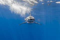 Head-on (great white shark) (George Probst) Tags: ocean blue portrait fish female mexico underwater pacific outdoor wildlife diving baja greatwhiteshark squalo tiburonblanco grandrequinblanc isladeguadalupe weiserhai