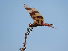 Halloween Pennant (jdf_92) Tags: indiana yellowwoodstateforest dragonfly halloweenpennant celithemiseponina