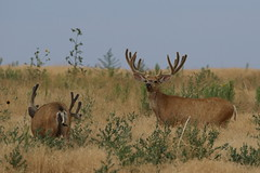 Big Mule Deer Bucks (fethers1) Tags: muledeer muledeerbuck deer coloradowildlife rockymountainarsenalnwr rmanwrwildlife