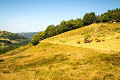 Espeyrac 181.jpg (vossemer) Tags: tiere frankreich natur felder wiesen berge aussicht khe ausblick landschaften stimmungen espeyrac languedocroussillonmidipyrnes languedocroussillonmidipyrn